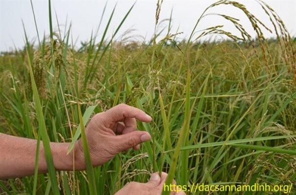 Đặc điểm sinh trưởng phát triển của cây lúa
