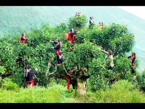 Sinh trưởng, phát triển của cây chè - Giai đoạn trưởng thành