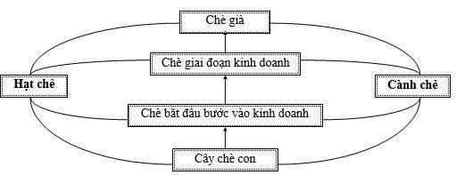 Tổng chu kỳ phát dục của cây chè (chu kỳ sinh trưởng lớn )