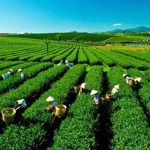 Tình hình sản xuất chè ở Việt Nam
