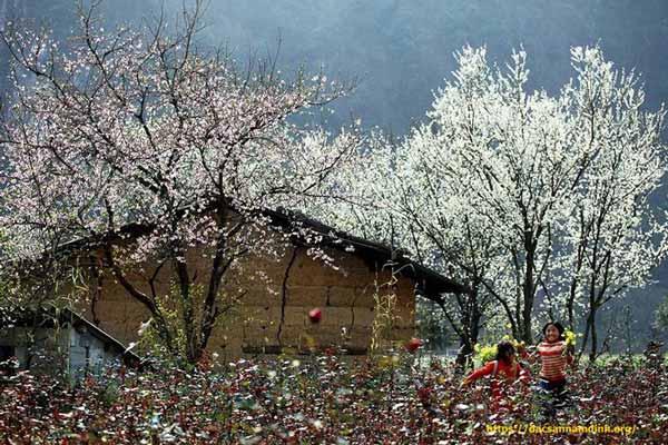 Đầu năm du lịch Điện Biên ngắm hoa ban nở